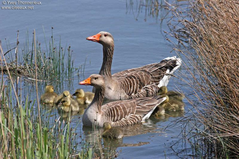 семья серых гусей