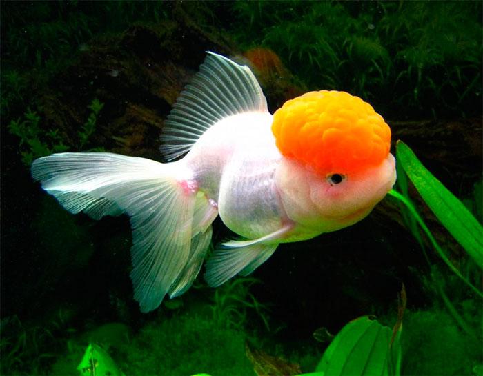 рыбка с красной головой похожа на золотую