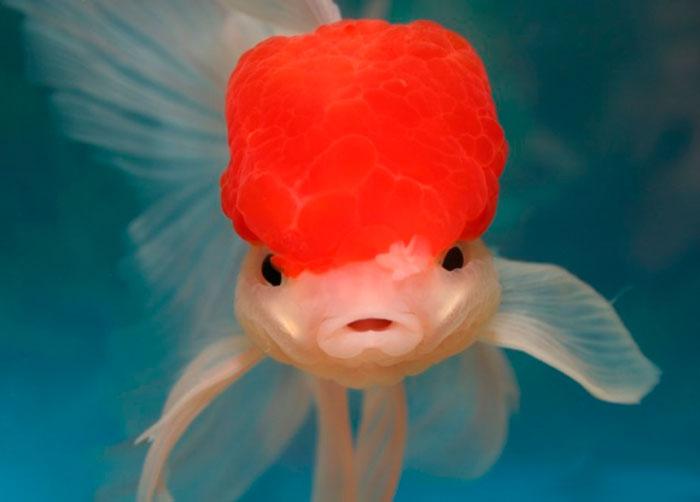рыбка оранда красная шапочка