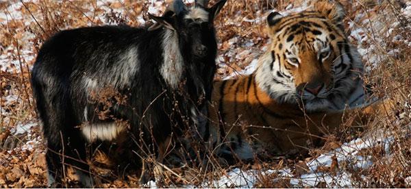 в Приморском сафари-парке козел Тимур и тигр Амур