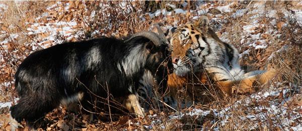 дружба между тигром  и козлом в Приморском сафари-парке