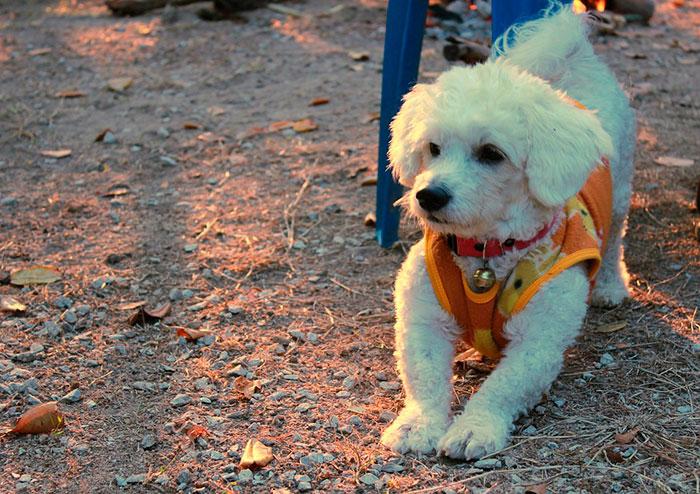 бишон-фризе дружелюбная собака