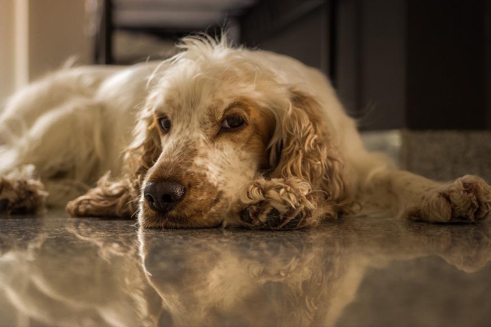 кокер-спаниель собака для семьи и квартиры