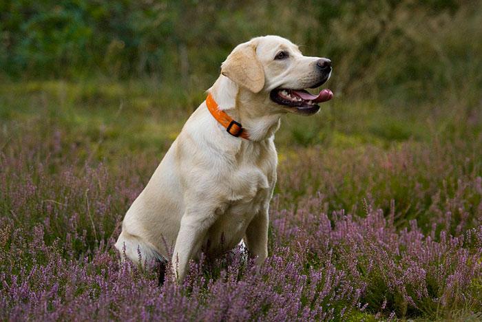 дружелюбные породы собак лабрадор