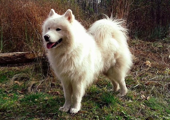 самоед дружелюбная порода собаки
