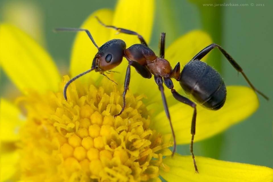 муравьи защищают растения