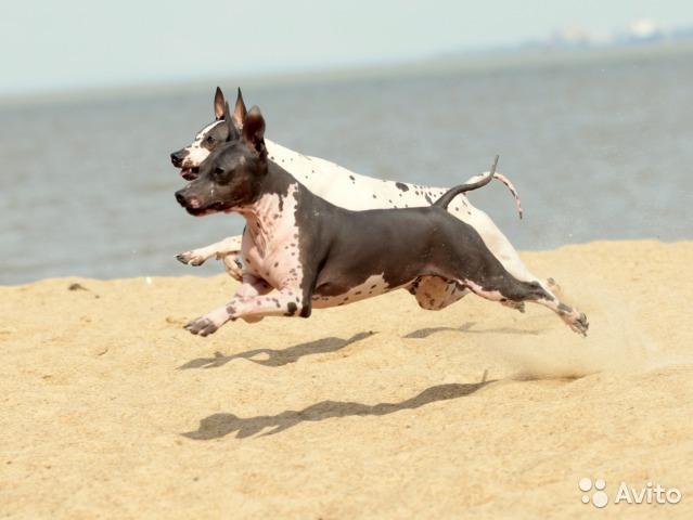 голые собаки для людей с аллергией