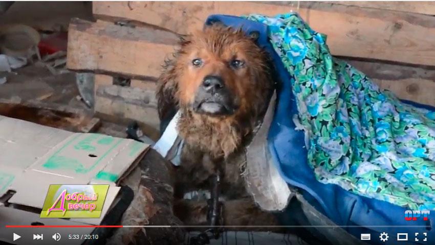 бездомный пес Рекс из Рыбинска