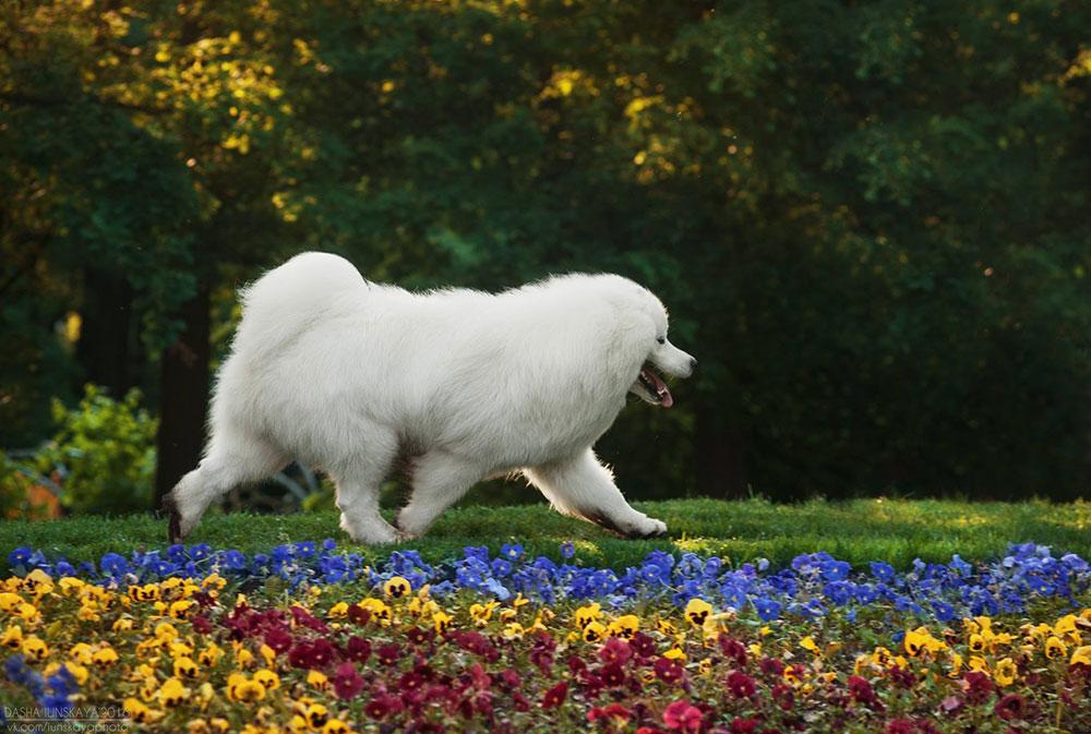 самоед активная собака