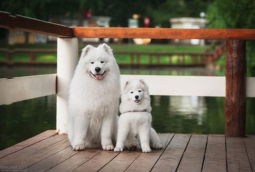 щенок и взрослая собака породы самоед
