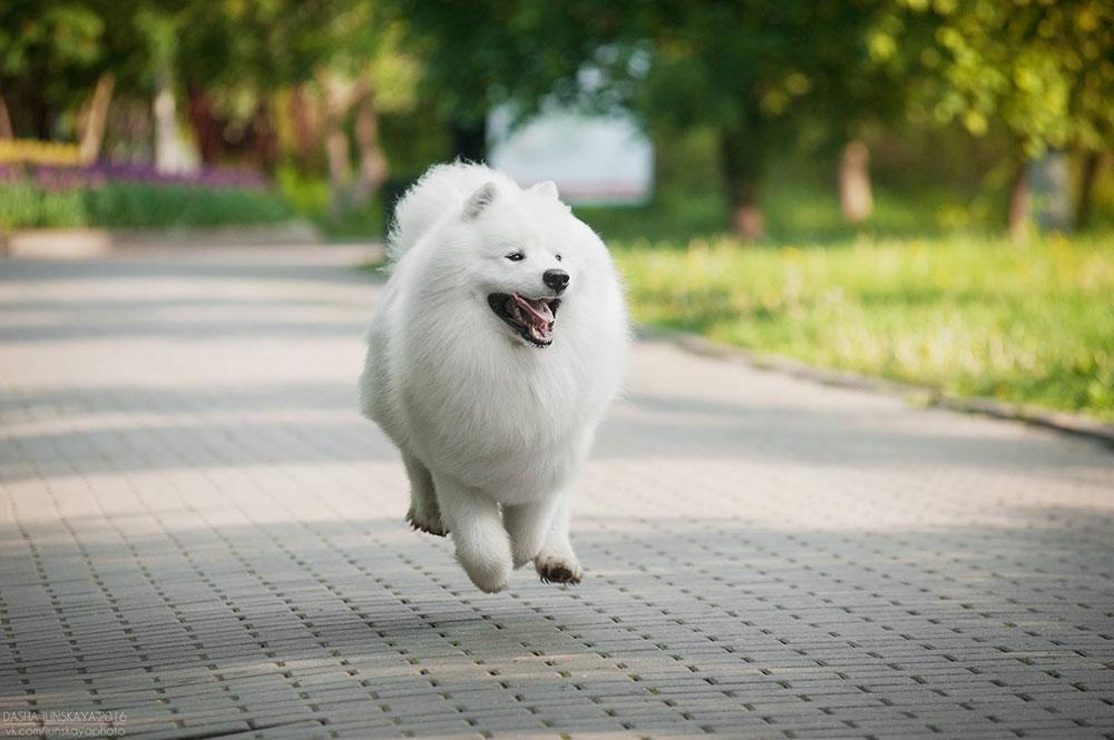 белая пушистая собака самоед