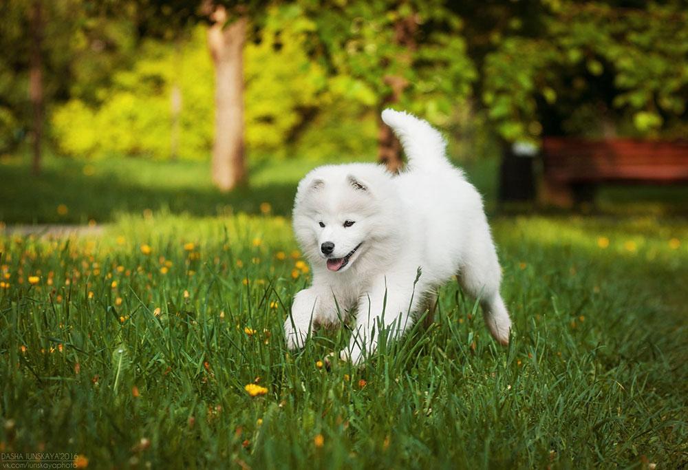 белый щенок самоеда