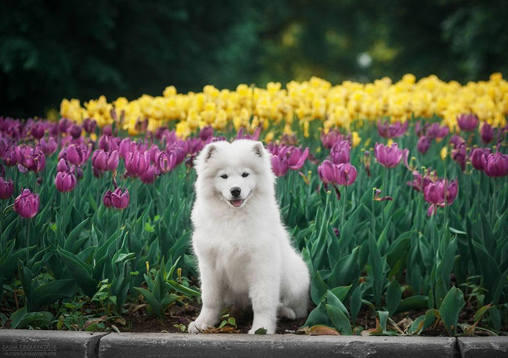 сколько стоит щенок самоеда