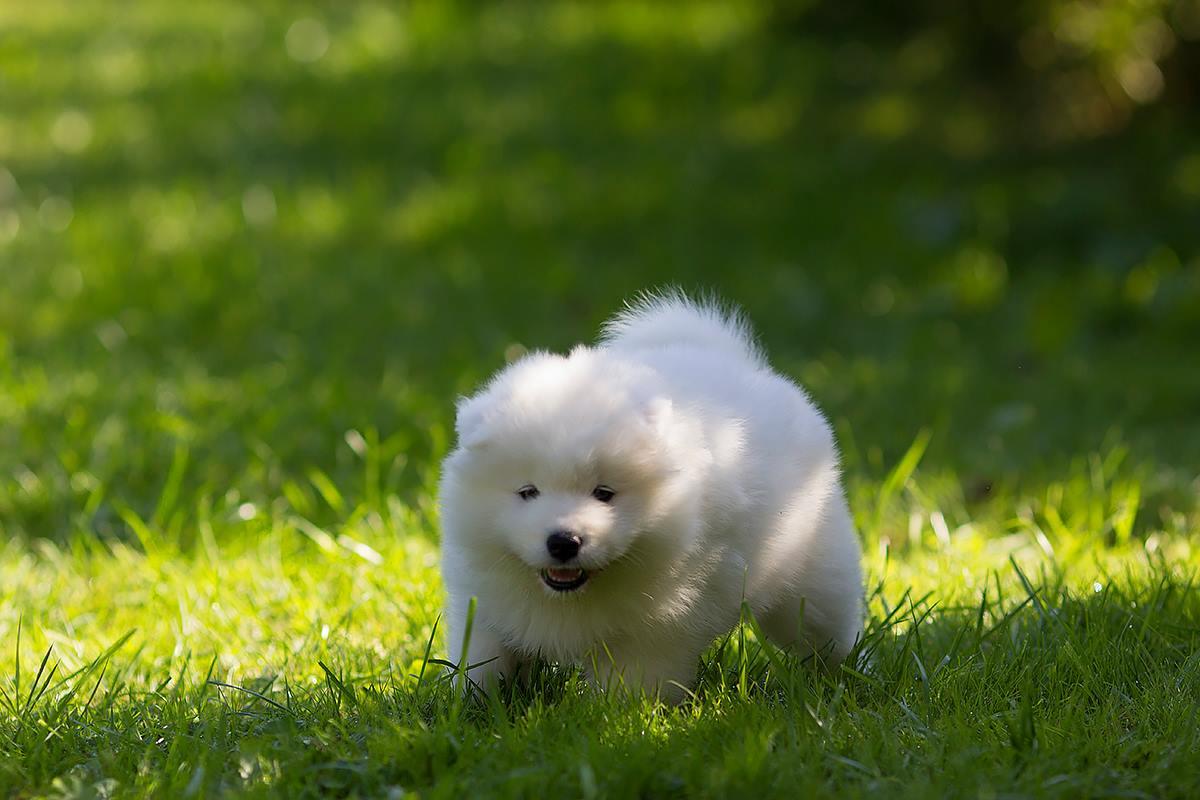 щенок арктического шпица