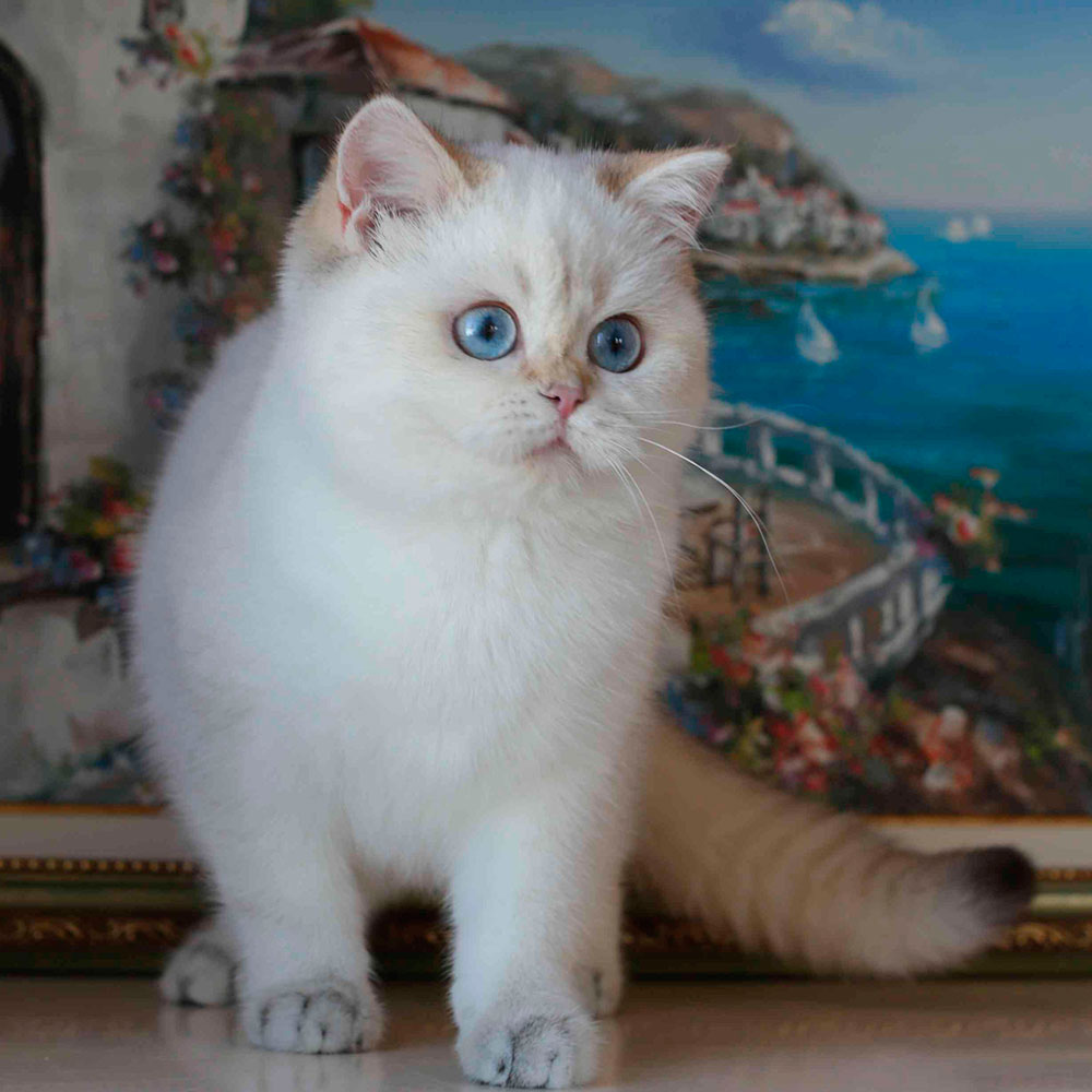 британская шиншилла кошка фото