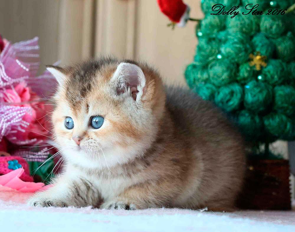 кошка с голубыми глазами фото