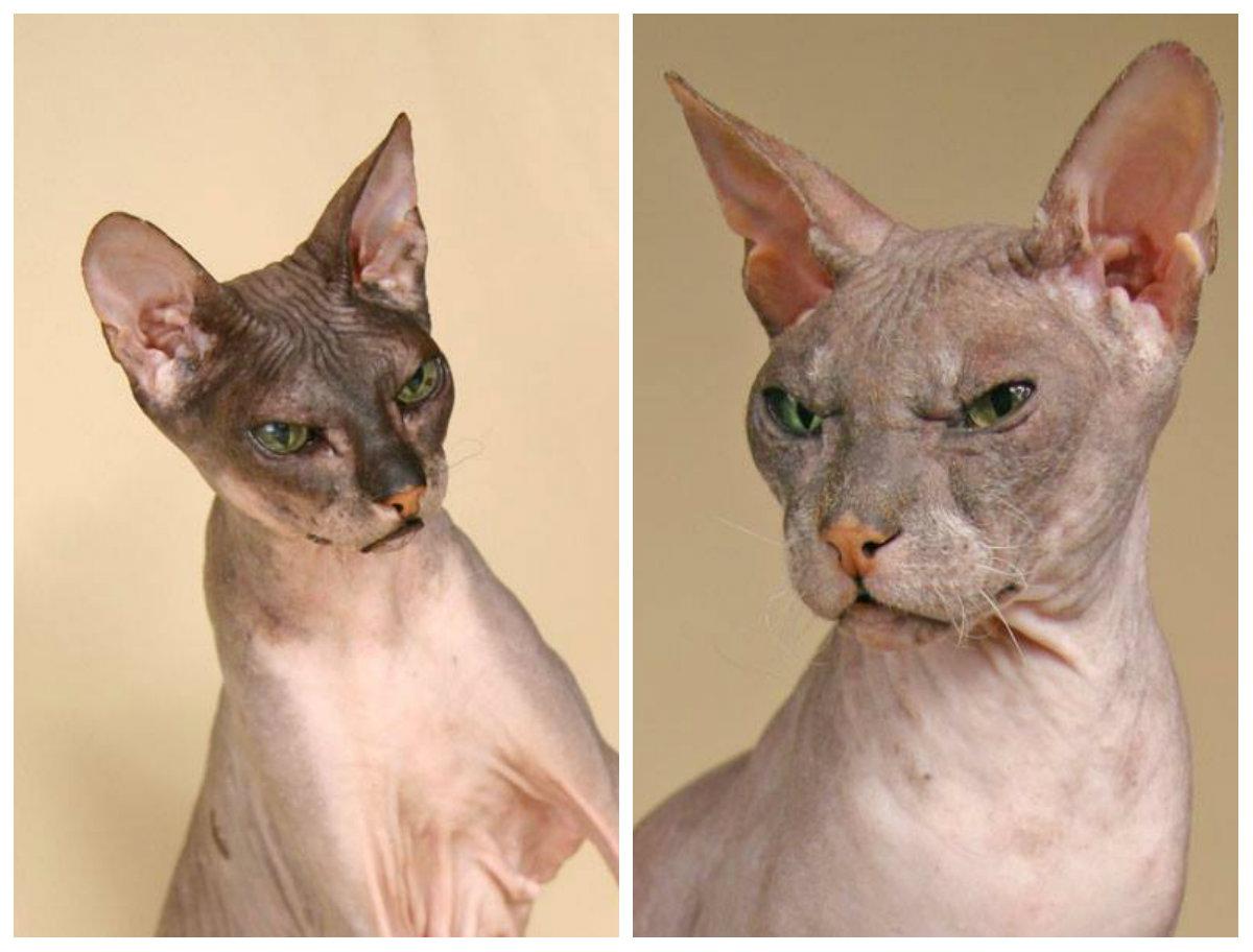 лысые кошки из России