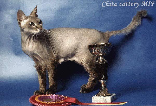 первая кошка донской сфинкс Чита