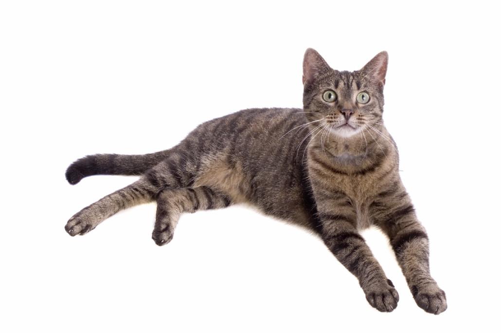 кошки ли хуа похожи на домашних кошек