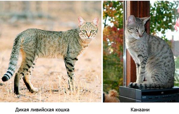 дикая ливийская кошка канаани