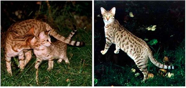 кошка канаани, котенок канаани