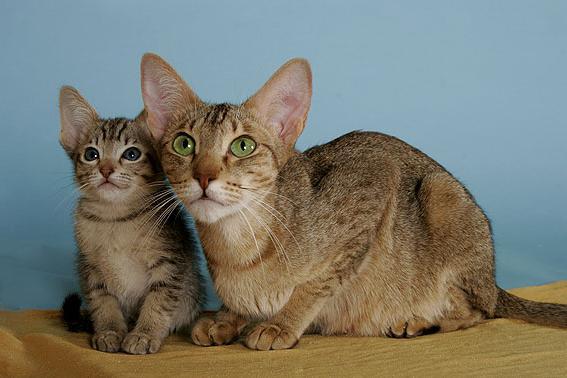 канаани дикая ливийская кошка