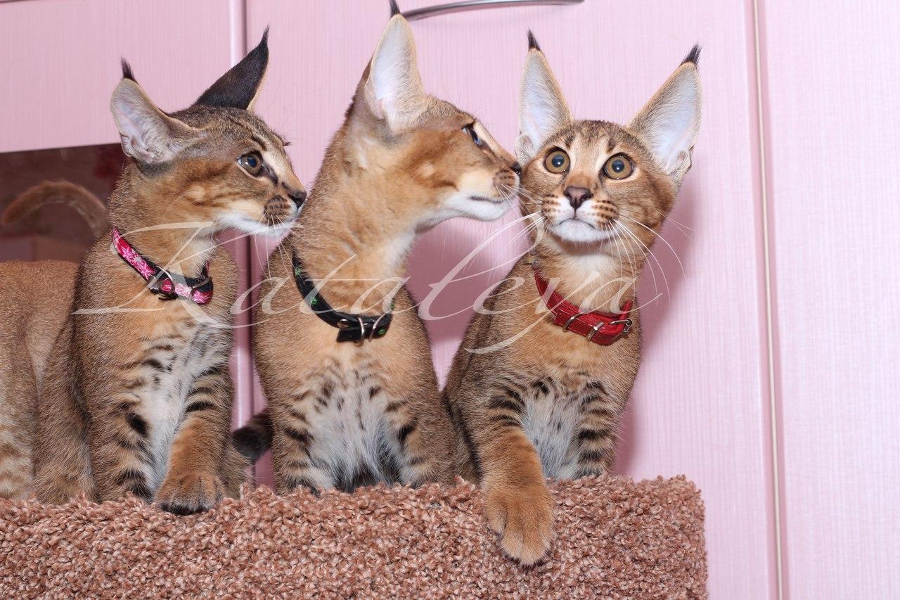 котята каракеты