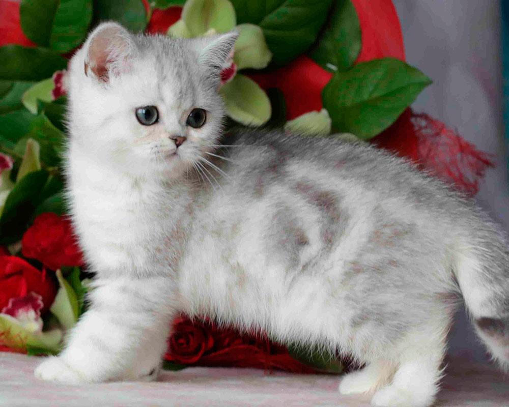 котенок британской шиншиллы фото