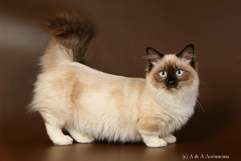 кошки-таксы манчкины