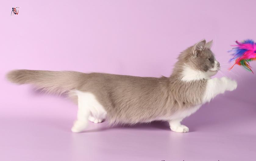 кошки с короткими лапами манчкины