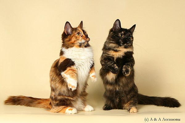кошка-кенгуру манчкин