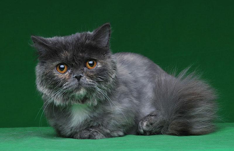 карликовая порода кошек наполеон минуэт