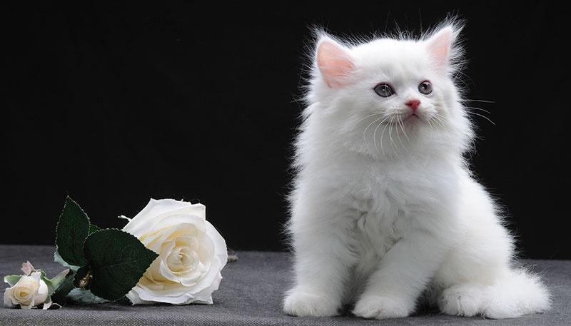 котенок породы менуэт наполеон стоит 100 тысяч рублей