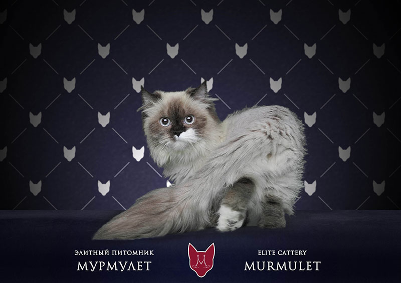 кошка с короткими лапами наполеон
