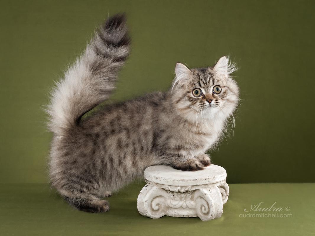 кошка-такса наполеон минуэт с короткими лапами