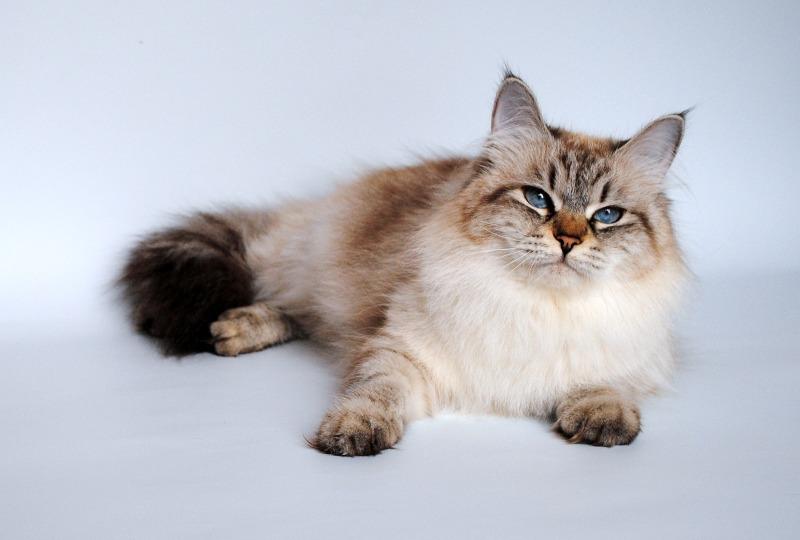 невская маскарадная кошка из питомника Baraj