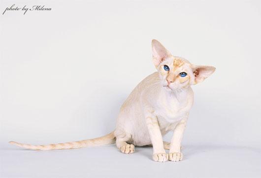 red tabby point окрас сиамской кошки