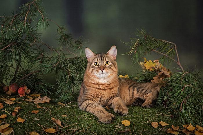 кот породы пиксибоб