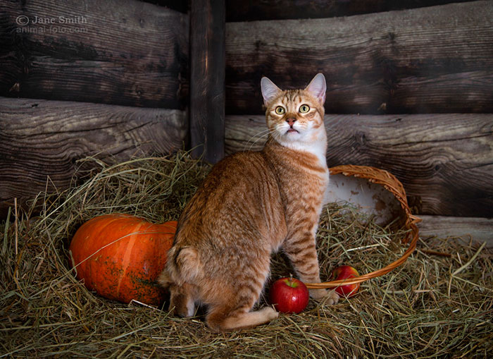 кошка с коротким хвостом пиксибоб
