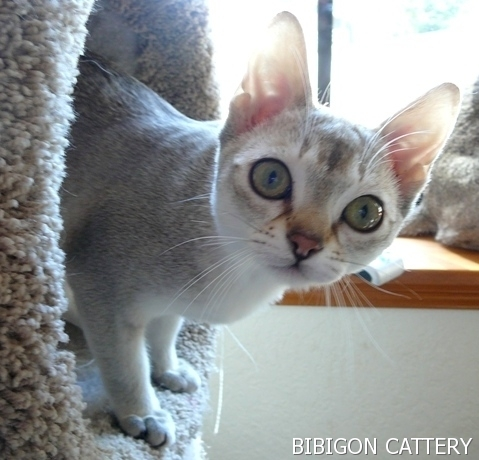 BIBIGON is a cattery specializing in breeding healthy Singapura cats