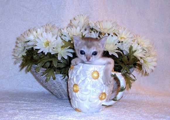 котенок сингапурской кошки