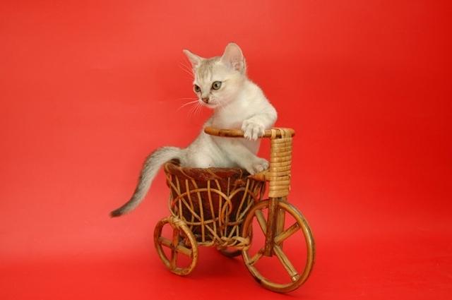 котенок из питомника Бибигон Москва
