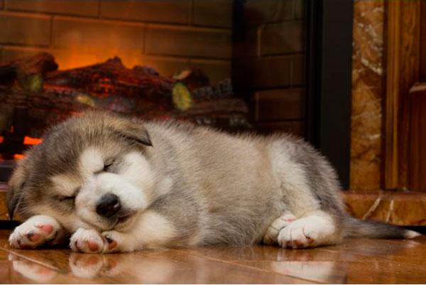 щенок аляскинского маламута