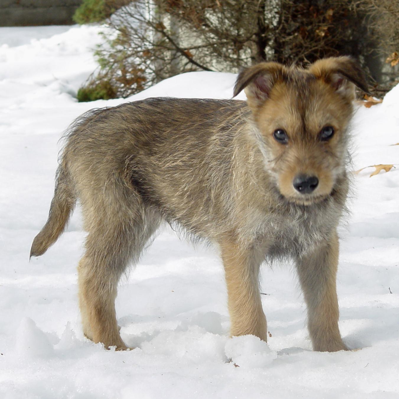 щенок пикардийской овчарки