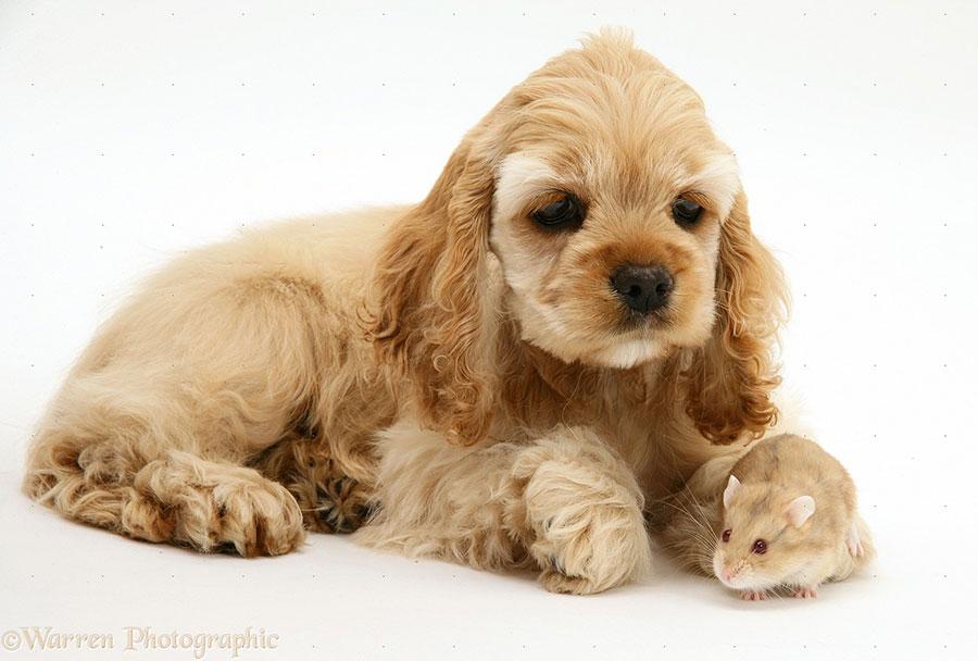 щенок американского кокер-спаниеля