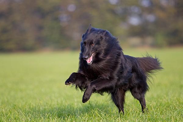 грюнендаль активная собака