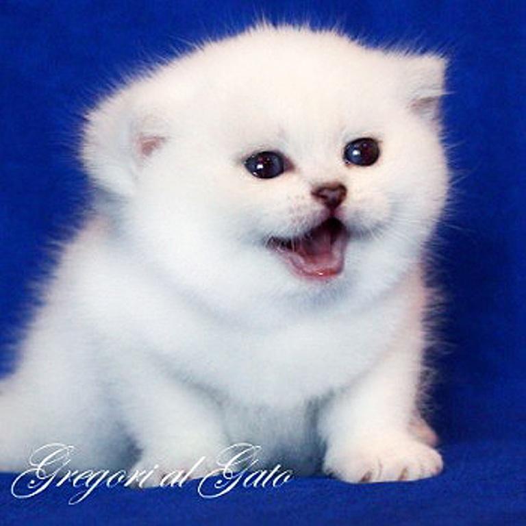 питомник британских серебристых кошек gregori al gato