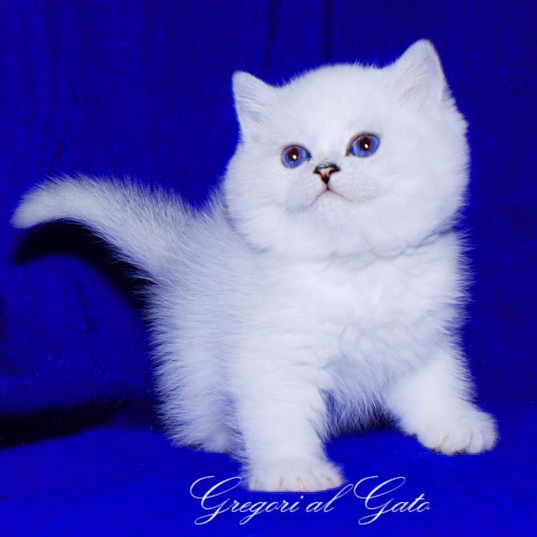 питомник британских серебристых кошек в москве