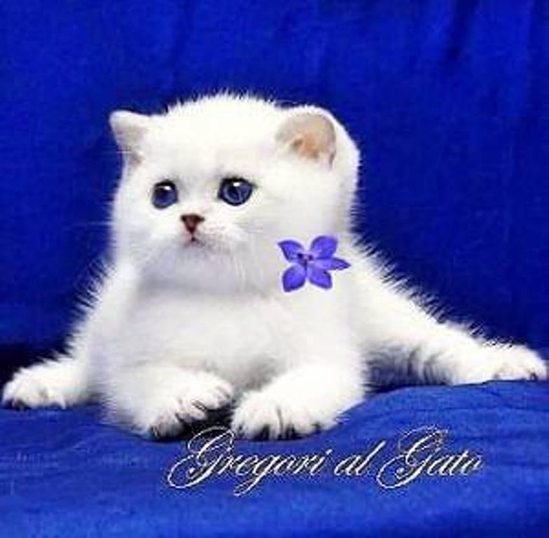 gregori al gato кошки британская шиншилла