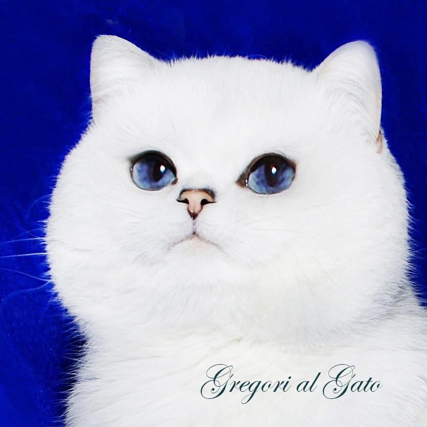 британская серебристая кошка